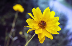 Arnica blossom Stock Photos