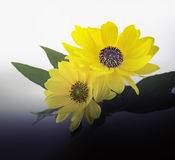 Arnica blossoms Royalty Free Stock Photography