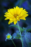 Arnica blossoms Royalty Free Stock Images