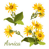 Arnica floral composition. Set of flowers with leaves, buds and branches. Royalty Free Stock Photos