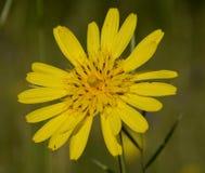 Arnica Flower Royalty Free Stock Photos