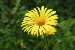 Arnica flower in a garden Royalty Free Stock Image