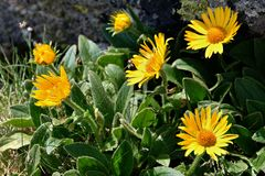 Arnica royalty free stock images