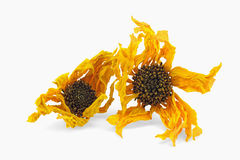 Arnica herb dried blossoms Royalty Free Stock Image