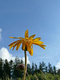 Arnica montana Stock Photography