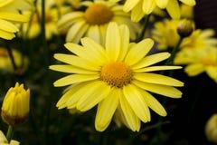 arnica montana Fotografering för Bildbyråer