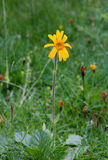 Arnica Montana Photos stock