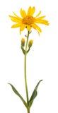 Arnica montana Imagens de Stock Royalty Free