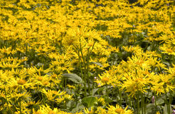 Arnica montana Royalty Free Stock Images