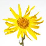 Arnica montana Fotografia de Stock Royalty Free