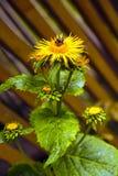 A arnica Montana bonita cresce no fim do contato acima Plantas medicinais imagem de stock royalty free