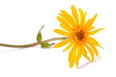 Arnica montana flower. Arnica montana isolated on white background Stock Photos