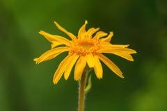 Arnica montana flower Royalty Free Stock Photo