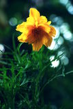 Arnica Montana flower. Royalty Free Stock Image