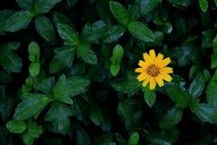 Arnica Montana flower. Stock Image