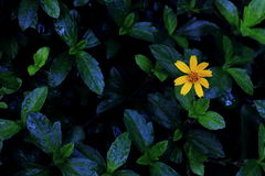 Arnica Montana flower. Royalty Free Stock Photos