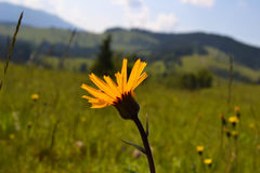 arnica Montana jaune Photos stock