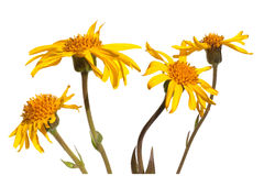 Arnica montana Royalty Free Stock Photography