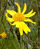 Arnica montana Royalty Free Stock Photo