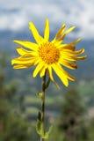 Arnica montana Stock Image