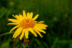 Arnica Mountain frower Royalty Free Stock Photos