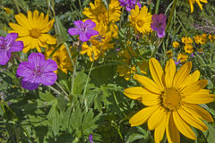 Arnica and Sticky Geranium wildflowers. A wide diversity of wild flowers in the Rocky Mountain Range include Heartleaf Arnica sunflowers and Sticky Geranium stock photography