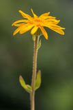 Arnika-Montana-Blume stockfotografie