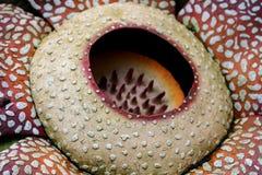 Arnoldii de Rafflesia da flor fotos de stock royalty free