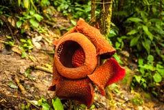 Arnoldii de Rafflesia en las montañas de Cameron Imagen de archivo