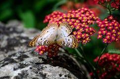 arobics del fiore di farfalla Immagini Stock