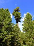 Austrian conifers, Arolla pine trees, near Obergurgl, Ötztal in Tyrol, Austria. royalty free stock photo