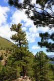 Arolla pine trees near Obergurgl, Ötztal in Tyrol, Austria. royalty free stock photos
