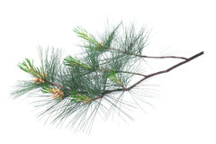 Arolla pine. Swiss stone pine branch isolated on white Stock Photography