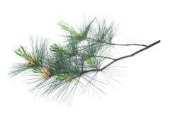 Arolla pine Stock Photography