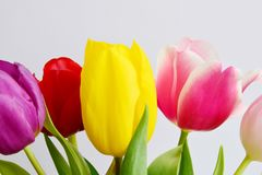 Aroma multicolored tulips bouquet. On a light background, fresh and bright flowers Stock Image