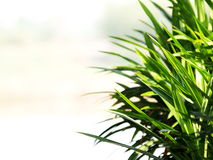 Aroma palm Stock Photography