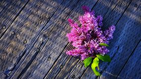 Purple Lilacs. Aromas and memories of summertime Royalty Free Stock Photos