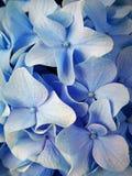 Blue Hydrangea. Aromas of the summer Stock Image