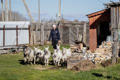 Aromashevsky俄罗斯2018年5月24日:有山羊的妇女在农庄 库存照片