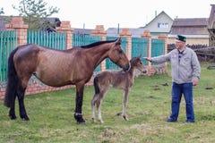 Aromashevsky Rosja 23 2018 Maj Ciężarny koń i źrebię z niewiadomym mężczyzną fotografia stock