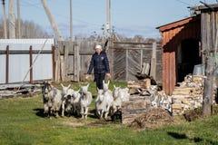 Aromashevsky Rusia 24 de mayo de 2018: mujer con las cabras en la granja fotos de archivo