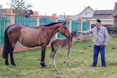 Aromashevsky Russia 23 May 2018 Pregnant horse and foal with unknown man stock photography