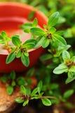 Aromaterapia Primo piano verde dell'erba del timo Immagine Stock Libera da Diritti