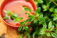 Aromaterapia Primo piano verde dell'erba del timo Immagine Stock