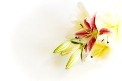 Aromatherapy. Pink and white lily flowers frame on white Stock Photo