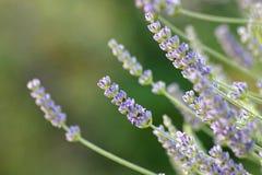 aromatherapy lavendelväxt Arkivfoton