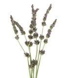 aromatherapy lavendula лаванды dentata органическое Стоковое Изображение RF