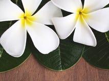 aromatherapy plumeria λουλουδιών Στοκ Φωτογραφία