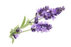 Aromatherapyen av lavendel Royaltyfria Bilder