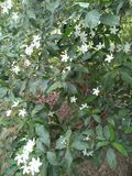 JASMINE $A BEAUTIFUL FLOWERING VIN. AROMATIC ADDITION TO ANY GARDEN ,GROW WELL IN STEADY BUT NO HARSH ENVIRONMENT /LIGHT ,SOIL MUST BE AT IT& x27;S BEST MOISTURE Stock Photography